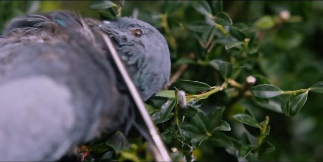 Hereditary dead bird